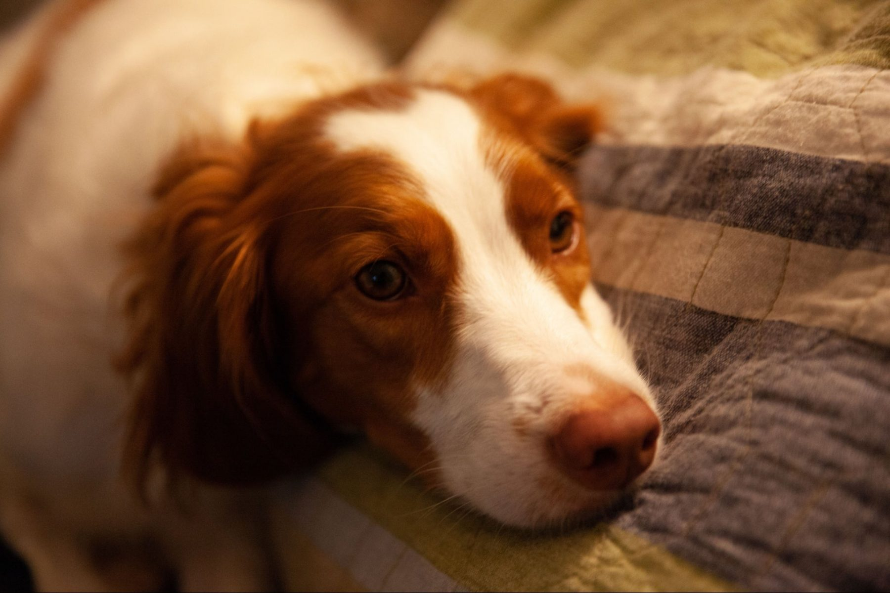 it's-national-dog-day.-have-you-seen-the-tiktok-famous-brittany-spaniel-that-walks-on-two-legs?